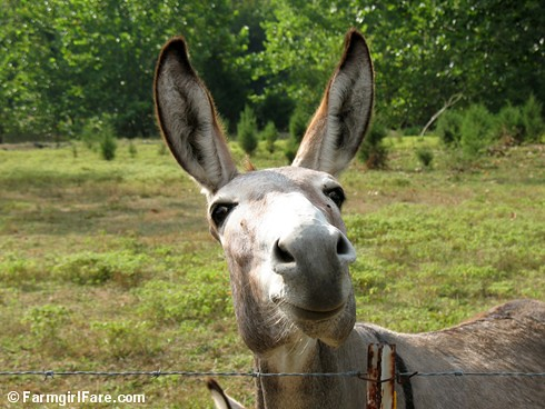 The Daily Donkey 107 - you can't help but smile at Dolores (or at least I can't) | by Farmgirl Susan