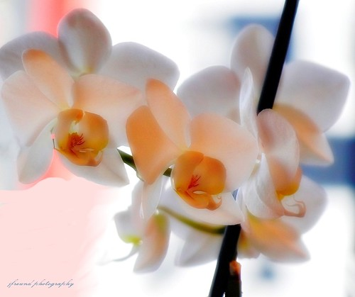 Orchids for you all, happy Easter! | by jackfre 2