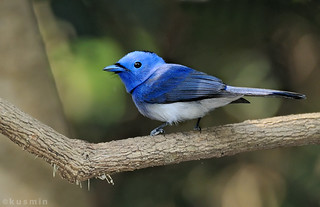 black-naped monarch (hypothymis azurea) | by punkbirdr