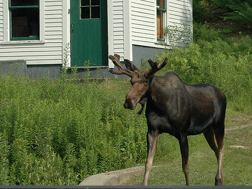 Moose | by Great Glen Trails