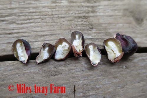 Japonica Flint Ornamental Corn