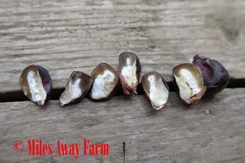 Japonica Flint Ornamental Corn