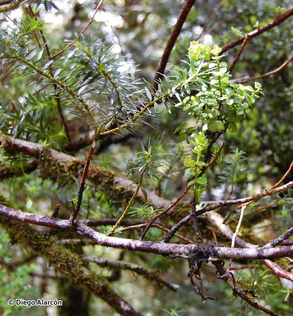 Antidaphne punctulata parasitando a Podocarpus nubigenus