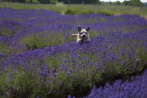 Jump! - Mayfield Lavender Farm - Surrey, UK
