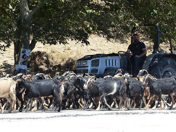 chèvres et tracteur