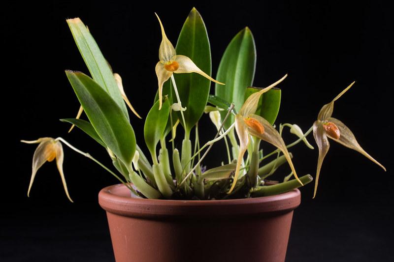 Bulbophyllum ankylochele 31393312675_a833d4d921_c