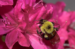 carpenter bee on pink azalea - Explored! | by loco's photos