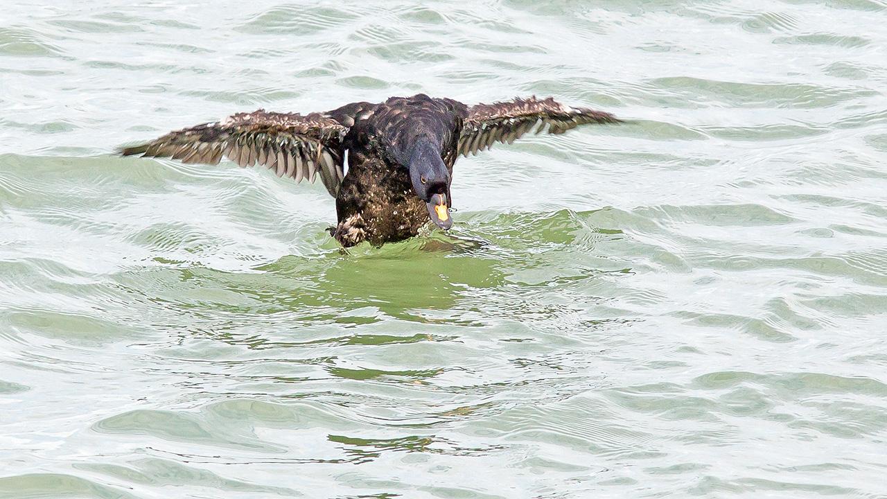 Zwarte Zee-eend ♂