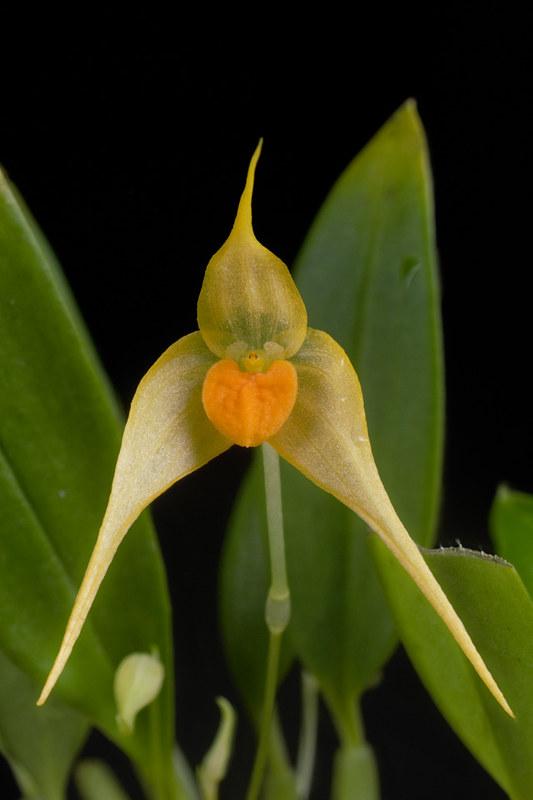 Bulbophyllum ankylochele 30997863691_6fdc07517b_c
