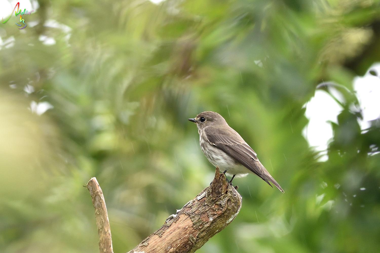 Grey-streaked_Flycatcher_6409