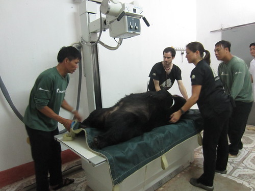 Bear moved into position as military doctors watch on
