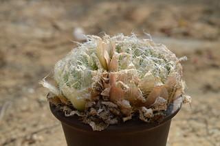 153 Haworthia bolusii var. semiviva  ハオルチア ボルシー セミヒバ