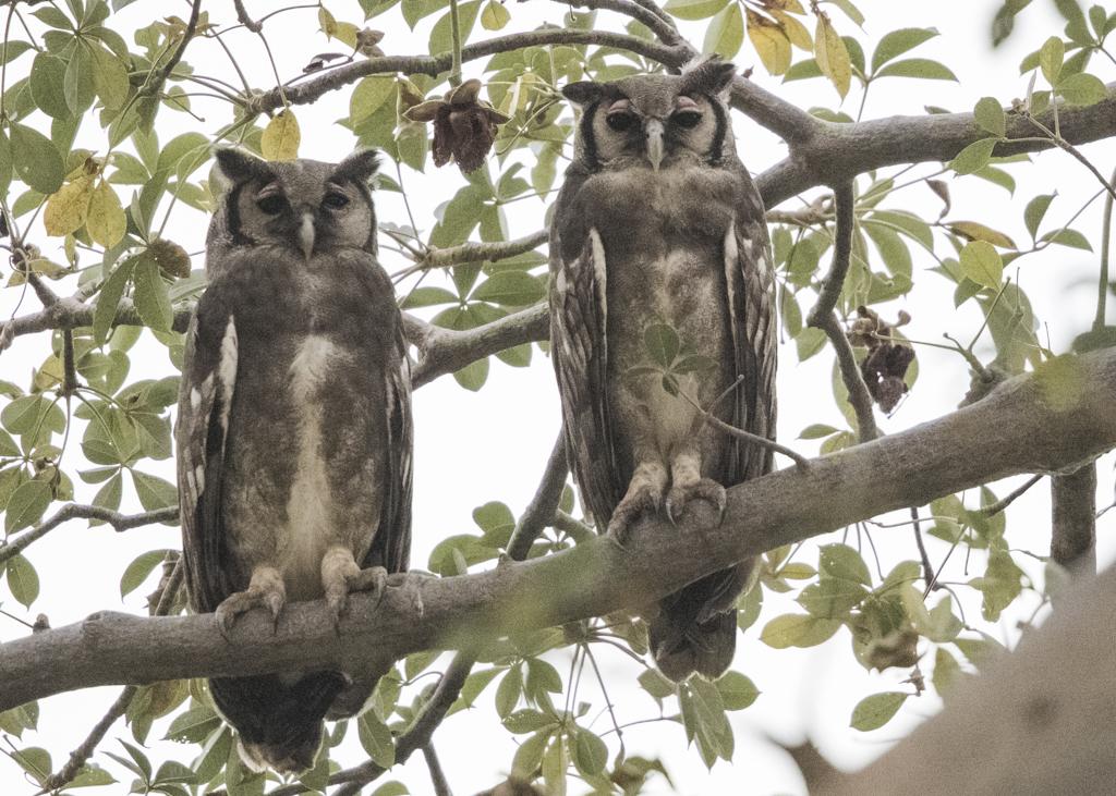 Verraux's Eagle Owl-2