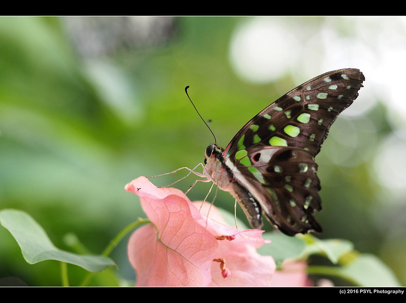 Green-Spotted Triangle (Graphium agamemnon)