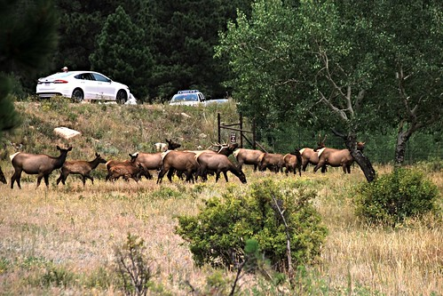 IMG_9436_Elk_Near_End_of_Trail_Ridge_Road