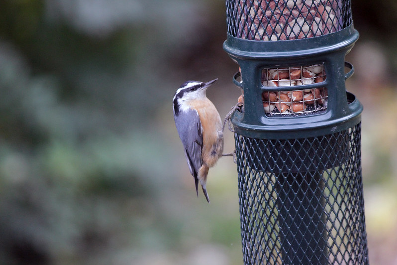 IMG_0773 Nuthatch at Peanut Feeder