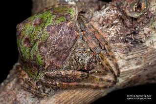 Wrap-round orb weaver (Talthybia sp.) - PA130257