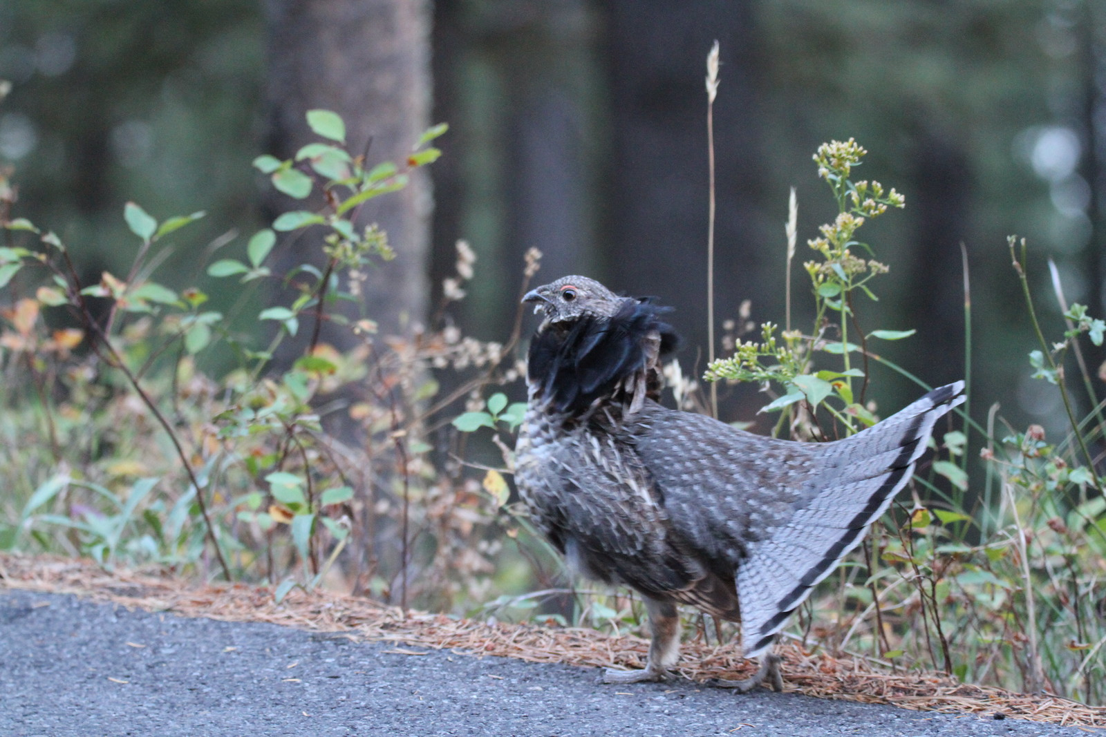 grouse by heather IMG_0061