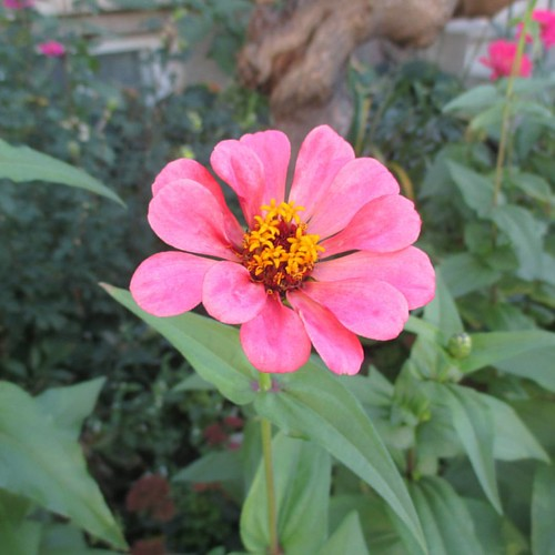 Pink #toronto #flowers #zinnia #latergram #pink