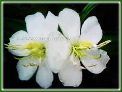 Melastoma malabathricum (Malbar Gooseberry, Indian/Singapore Rhododendron, White Senduduk) with white flowers, 4 Nov. 2016
