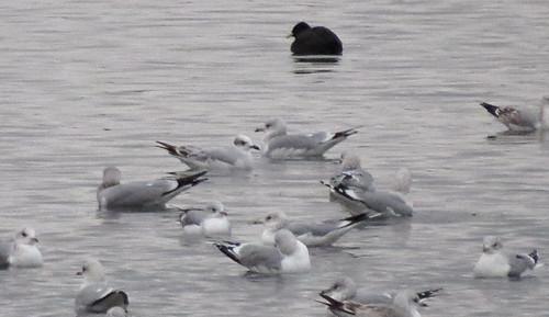 Mediterranean Gull Ichthyaetus melanocephalus Tophill Low NR, East Yorkshire December 2016
