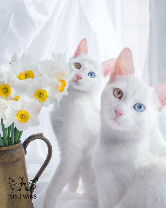 Очаровательные кошки-близнецы с гетерохромией - ПоЗиТиФфЧиК - сайт позитивного настроения!