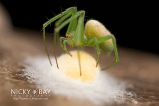 Orb web spider (Araneus micula) - DSC_8467