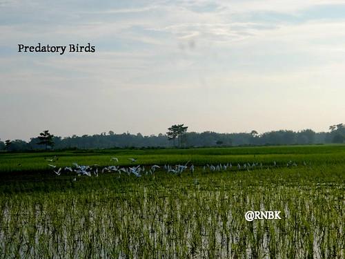 Exposing fields to predatory birds help prevent pest attacks. Photo source: AICRP on Biological Control, Jorhat centre, Assam Agricultural University.