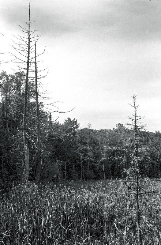 Dead Pines in the Marsh