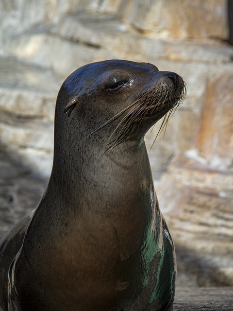 Sea World sea lion