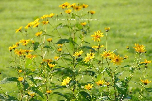 菊イモの花