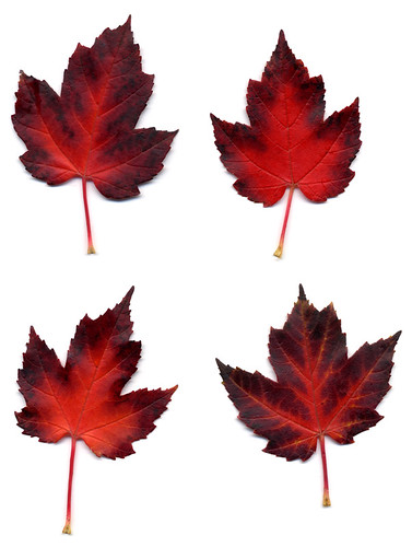 scan of red maple leafs from Granville Island