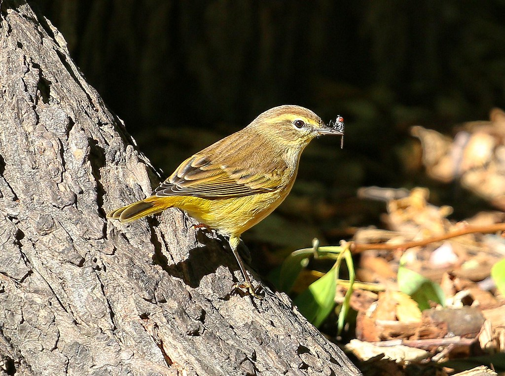 Palm warbler with a fly