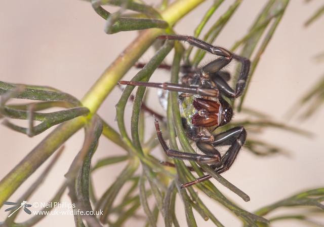 Water spider-5