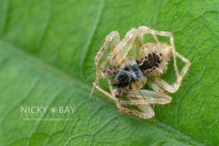 Garden Orb Weaver (Eriovixia sp.) - DSC_2592