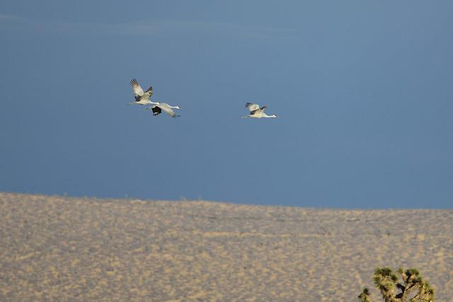 Sandhill Cranes, 110 E & I, Antelope Valley