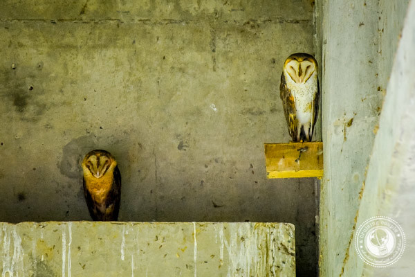Barn Owls in Sierpe