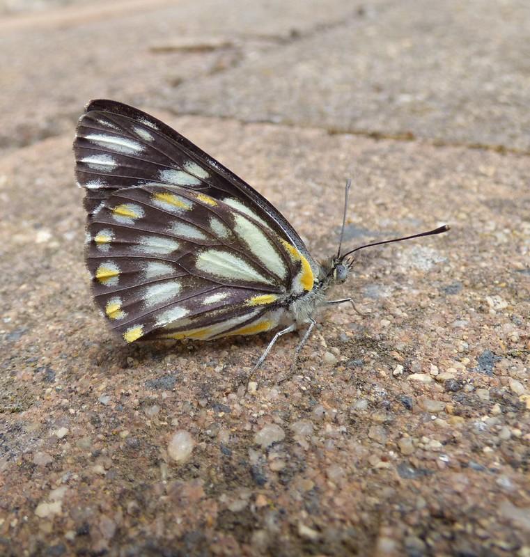 Caper White Butterfly EC jpg