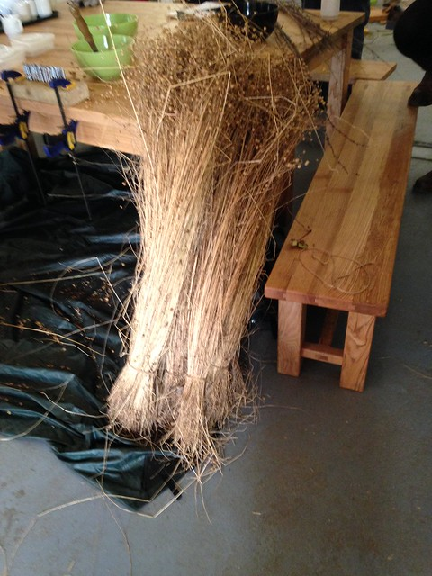 Tall flax, ready for scutching into fibres