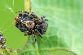 Orb weaver spider (Chorizopesoides sp.) - DSC_5569