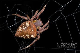 Common Garden Spider (Parawixia dehaani) - DSC_2934