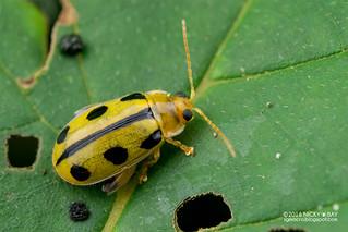 Leaf beetle (Chrysomelidae) - DSC_2024