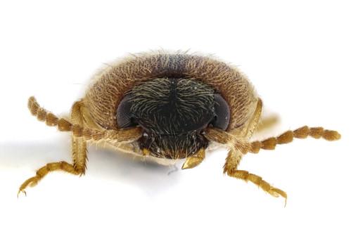 マダラチビコメツキ Prodrasterius agnatus (Candèze, 1873)-4-4