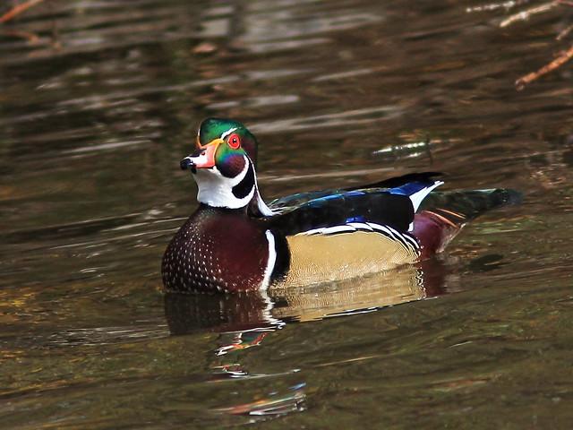 Wood Duck male 20131105