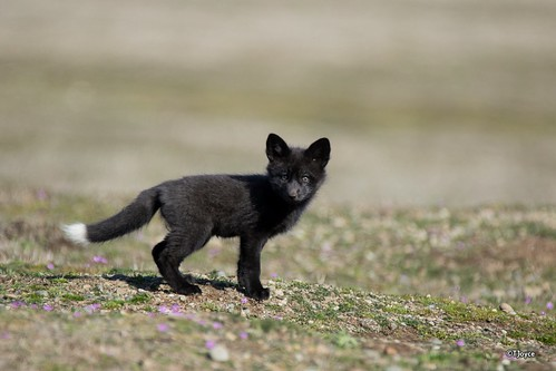 Silver fox kits