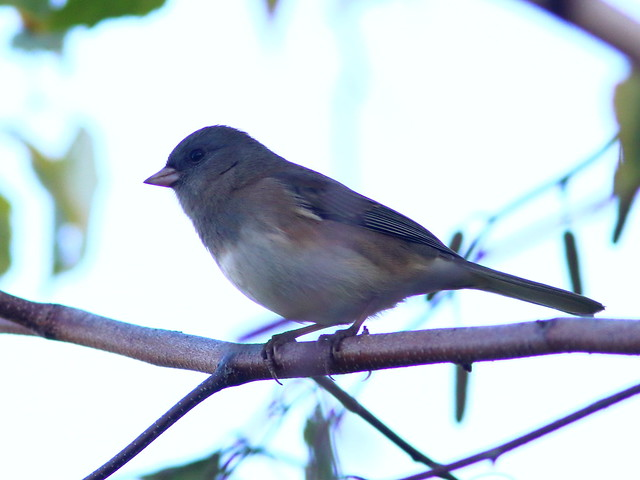 Dark-eyed (Slate-colored) Junco 20161014