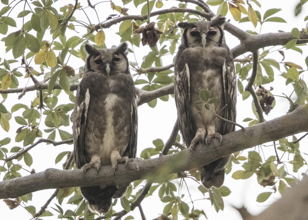 Verraux's Eagle Owl