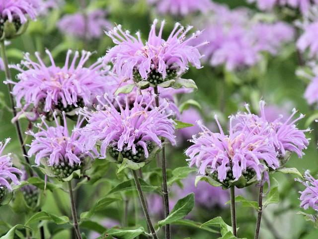 Bee Balm flowers 20130709