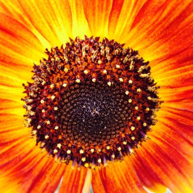 Sunflower ~ #sunflower #yellow #red