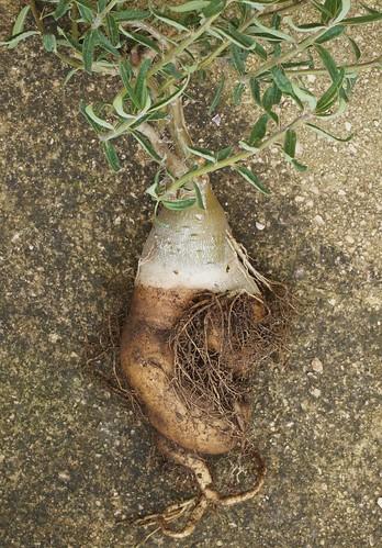 Pachypodium succulentum 29733797403_f36a8bfabe